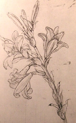 Drawing of lilies for an annunciation - by Leonardo da Vinci