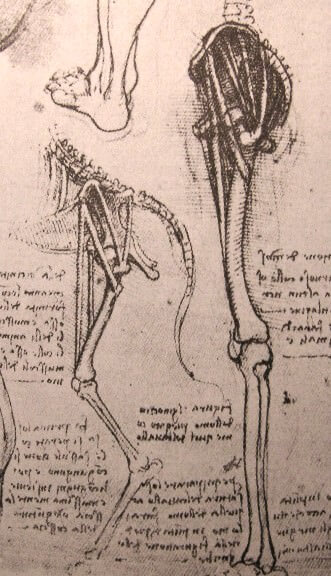 Drawing of the comparative anatomy of the legs of a man and a dog - by Leonardo da Vinci