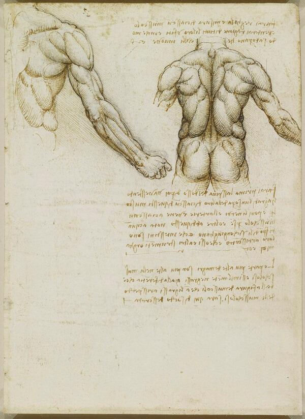Muscles Of The Back By Leonardo Da Vinci