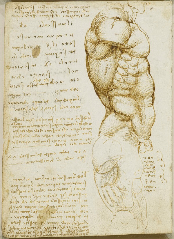 Muscles Of The Torso Side View By Leonardo Da Vinci