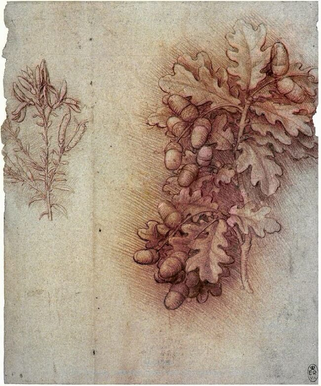 Sprays of Oak Leaves and Acorns by Leonardo da Vinci