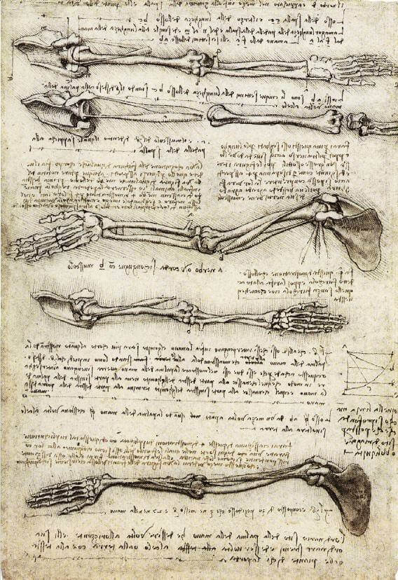 Studies of the arm showing the movements made by the biceps - by Leonardo da Vinci